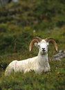Bedded Dall Sheep Ram Royalty Free Stock Photo