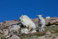 Bedded mountain goat nanny and baby a her kid in the high alpine Stock Images