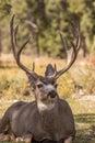 Bedded Mule Deer Buck Royalty Free Stock Photo