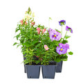 Bedding plants annual straight from the greenhouse nursery snapdragons and pansies isolated on white Stock Photography
