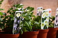 Bedding plants bacopa b photograph of for sale at a garden centre Royalty Free Stock Photo