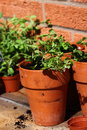 Bedding plants pot a portrait photograph of in clay pots Stock Images