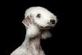 Bedlington Terrier Dog Isolate...