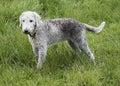A Bedlington Terrier Standing ...
