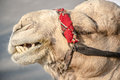 Bedouin camel in israel near the dead sea head of close up Royalty Free Stock Photo