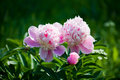 Beds with peonies Royalty Free Stock Photos