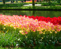 Beds of tulips Royalty Free Stock Photo