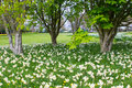 Beds of white narcissus and yellow daffodils in the public park in Barnett`s Desmesne in late April just before the blooms finally Royalty Free Stock Photo