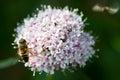 Bee on alp flower