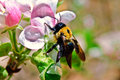 Bee on an Apple Blossom Stock Images