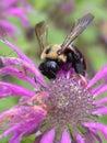 Bee Balm Stock Image