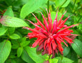 Bee balm flower Royalty Free Stock Photo