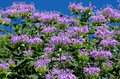 Bee balm monarda or is a genus consisting of roughly species of flowering plants in the mint family lamiaceae the genus is endemic Stock Photo
