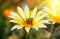 Bee on beautiful flower in the sun