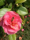 A bee on the beautiful pink flower