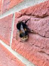 Bee on brickwork bumble resting Royalty Free Stock Photos