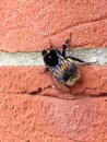 Bee on brickwork bumble resting Stock Photos