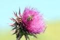 Bee on burdock flower spring season Stock Photo