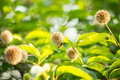 Bee on buttonbush a flower of plant Stock Photography