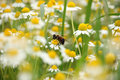 Bee on chamomile flower Royalty Free Stock Photo