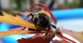 Bee closeup macro detail of on leaf in summer time insect warrior Royalty Free Stock Image