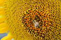 Bee collect pollen from sunflower blossom hairs on are covered in yellow as are it s legs close up macro view Stock Photos