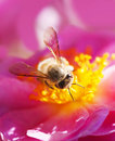 Bee collecting honey Royalty Free Stock Photo