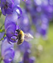 The bee collecting nectar on a blue flower. Royalty Free Stock Images