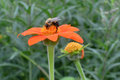 Bee collecting nectar a close up photo of a and in the process pollinating an orange flower Royalty Free Stock Image