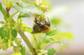 Bee collecting nectar a from a flower Royalty Free Stock Photography