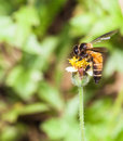 Bee collecting nectar from flower and insect pollinator in the nature Stock Images