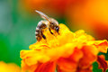 Bee collecting pollen from calendula flower Stock Photography