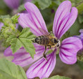 Bee collects nectar from flowers and crimson snout smeared in pollen Stock Images