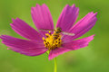 A bee collects nectar, turning its back on a bright pink flower cosmos, green blurred background