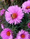 Bee collects pollen for honey on a pink flower, autumn, top view Royalty Free Stock Photo