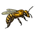 Bee.   color illustration on white background. Royalty Free Stock Photo