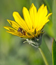 Bee coming out of a sunflower Royalty Free Stock Photo