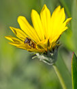 Bee coming out of a sunflower Royalty Free Stock Photos