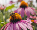 Bee and cone flower a collecting pollen from a Stock Image