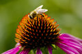Bee on the coneflower Royalty Free Stock Image
