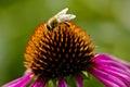Bee On The Coneflower