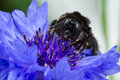 Bee on a cornflower closeup of collecting pollen from garden wallflower Royalty Free Stock Photography