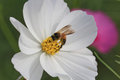 Bee and Cosmos Flower Royalty Free Stock Photography