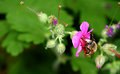 Bee on cranesbill wild feeding from selective focus copy space Royalty Free Stock Photography