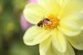 Bee on dahlia Royalty Free Stock Photo