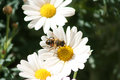 Bee on a Daisy Stock Photo