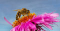 Bee on a daisy. Royalty Free Stock Photo