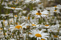 A bee on a daisy in a field of many white daisies Royalty Free Stock Photo