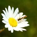 Bee on daisy flower dandelion close up Stock Photos