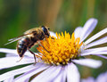 Bee on a daisy flower Royalty Free Stock Photo